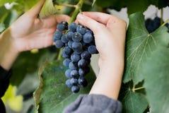 Weibliche Hand hält die Trauben Nahaufnahme mit grünen Blättern auf dem Hintergrund Trauben, die für Wein sich vorbereiten Stockfotografie