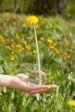 Weibliche Hand hält eine Flasche mit Löwenzahnblume Stockfotografie