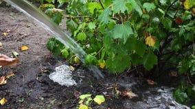Weibliche Hand mit Bewässerungsgartenpflanzen eines Schlauches stock video