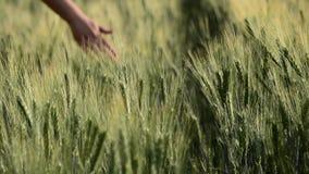Weibliche Hand streicht die Ohren des Roggens und des Weizens, leichte Brise, Landwirtschaftskonzept stock video