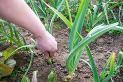 Weibliche Hand zieht Zwiebeln vom Garten Lizenzfreies Stockfoto