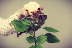 Weibliche Handgriffweiß-Rosenblume Lizenzfreies Stockbild