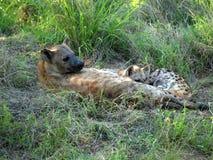 Weibliche Hyäne mit Jungen Stockfotos