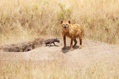 Weibliche Hyäne mit zwei Kälbern nahe ihrem Loch Lizenzfreies Stockfoto