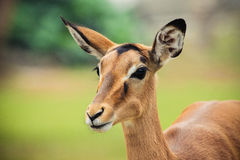 Weibliche Impala Lizenzfreie Stockfotos