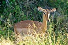 Weibliche Impala Lizenzfreie Stockfotografie