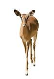 Weibliche Impala Stockbild