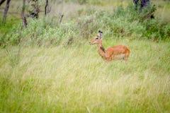 Weibliche Impala, die im Gras steht lizenzfreies stockbild