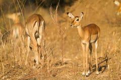 Weibliche Impala u. x28; Aepyceros melampus& x29; Stockbilder