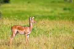 Weibliche Impalaantilope Stockfoto
