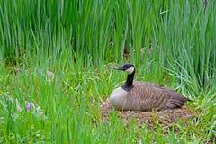 Weibliche Kanada-Gans, die auf ihrem Nest sitzt Stockfotos