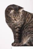 Weibliche Katze der getigerten Katze des Porträts auf der Wand, die unten schaut Stockbild