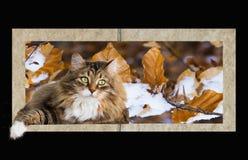 Weibliche Katze der netten braunen getigerten Katze der sibirischen Zucht in einem Bilderrahmen des Herbstes Lizenzfreie Stockfotos