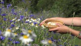 Weibliche Kräuterkennerhände wählen Gänseblümchenblumen zwischen Kornblume auf dem Gebiet aus 4K stock video footage