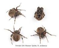 Weibliche Kugel Weaver Spider Lizenzfreie Stockbilder