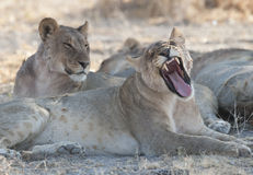 Weibliche Löwen Stockbild
