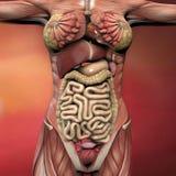 Weibliche menschlicher Körper-Anatomie Stockfoto
