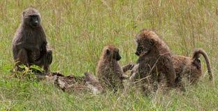 Weibliche olivgrüne Paviane und Junge Stockfotografie