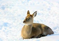 Weibliche Rotwild im Winter gegen den weißen Schnee Stockfoto