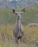 Weibliche schauende Kamera Kudu Stockbild
