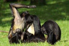 Weibliche Schimpansen mit Jungen nehmen an dem Pflegen teil Stockfotos