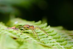 Weibliche Spinne passt sein Opfer auf einem Farnblatt auf Lizenzfreies Stockfoto