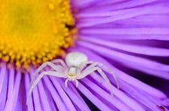 Weibliche Spinne von weißen Farbjagden Stockfotos