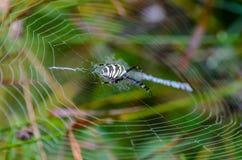 Weibliche Spinnewespe sitzt in der Mitte seines Netzes Lizenzfreie Stockfotos