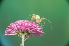 Weibliche springende Spinne Lizenzfreies Stockfoto