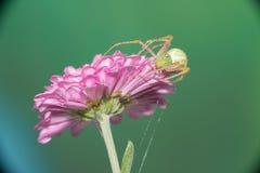 Weibliche springende Spinne Stockbild