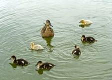 Weibliche Stockente mit gewordenen Vögeln Lizenzfreie Stockfotografie