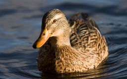 Weibliche Stockenten-Ente Stockbild