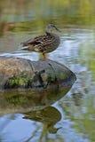 Weibliche Stockenten-Ente (Anekdoten platyrhynchos) Stockbilder