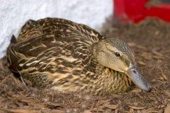 Weibliche Stockenten-Ente auf Nest Lizenzfreies Stockfoto
