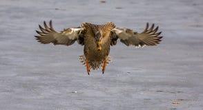 Weibliche Stockenten-Ente im Flug lizenzfreies stockfoto