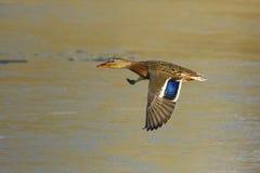 Weibliche Stockenten-Ente im Flug Lizenzfreies Stockbild