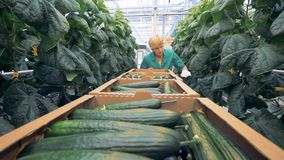 Weibliche Treibhausarbeitskraft erntet reife Gurken Gesundes Produktproduktionskonzept stock video