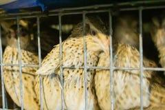Weibliche Wachteln in einem Käfig auf dem Bauernhof lizenzfreies stockbild