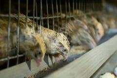 Weibliche Wachteln picken Zufuhr auf dem Bauernhof stockbilder