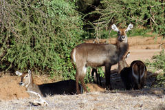 Weibliche waterbucks Lizenzfreie Stockfotos