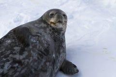 Weibliche Weddellrobbe, die im Schneewinter liegt Stockbild