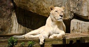 Weibliche weiße Löwin, die in der Sonne sich entspannt lizenzfreies stockfoto