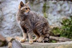 Weibliche Wildkatze, Felis silvestris, die Nachbarschaft aufpassend Stockbild