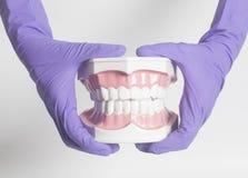 Weibliche Zahnarzthand in den medizinischen purpurroten Handschuhen, die Zähne halten, modellieren Lizenzfreie Stockfotografie