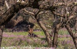 Weibliche Ziege mit ihren drei Kindern, die sich voll auf einem Gebiet von purpurroten Blumen in der Mittagssonne aalen Stockbild