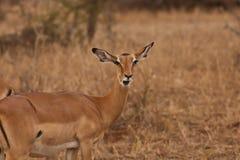 Weiblichen Thomsons Gazelle Stockfoto