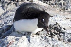 Weiblicher Adelie-Pinguin, der auf dem Nest und dem erschreckenden observ sitzt lizenzfreies stockfoto