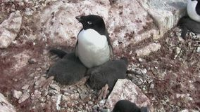 Weiblicher Adelie-Pinguin, der nahe in dem einem Nest großes Küken zwei sitzt stock video