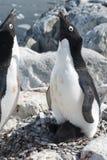 Weiblicher Adelie-Pinguin nahe dem Nest, das das männliche appro begrüßt stockfoto