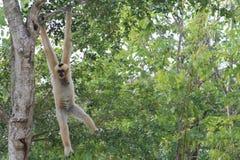 Weiblicher Affe, der heraus hängt Stockfotografie
